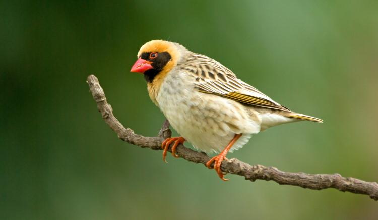 quelea most common bird