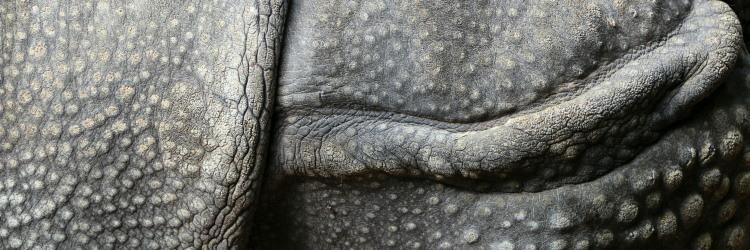 rhino thickest skin