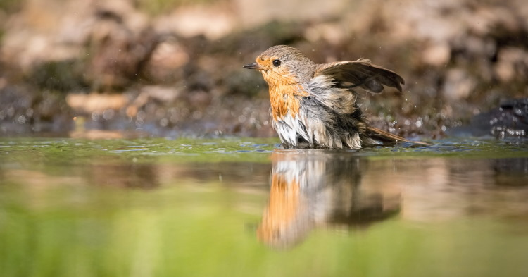 robin bathing in water
