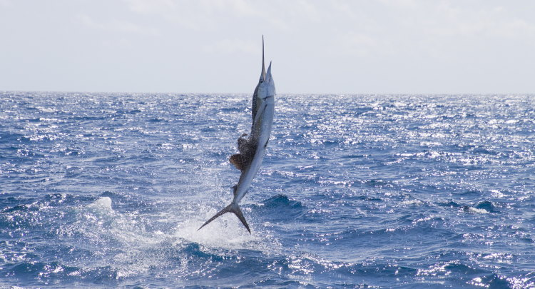 sail fish fastest in world
