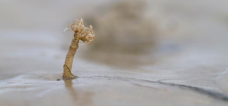 sand mason worm