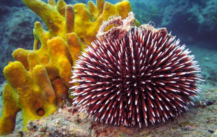 Echinodermata sea urchin Strongylocentrotus