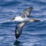 Shearwaters, Fulmars & Whale Birds (Procellariidae)