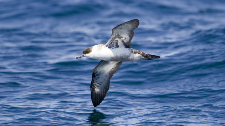 shearwater flying