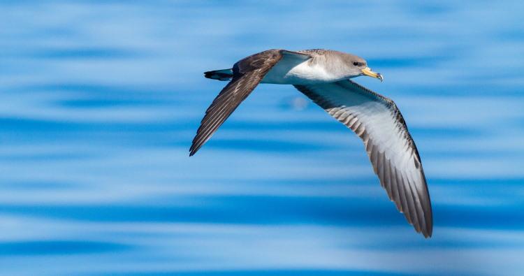 corys shearwater