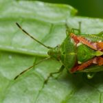 Shield Bugs 101: Wonders Of Families Pentatomidae & Cydnidae