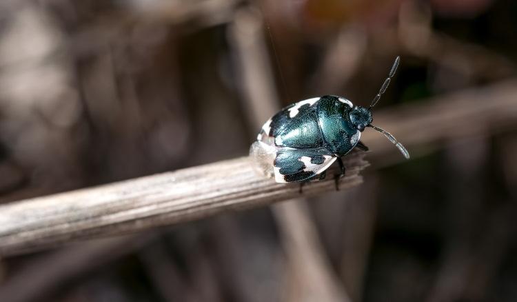 Cydnidae Tritomegas bicolor