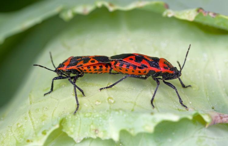 Harlequin Bugs mating