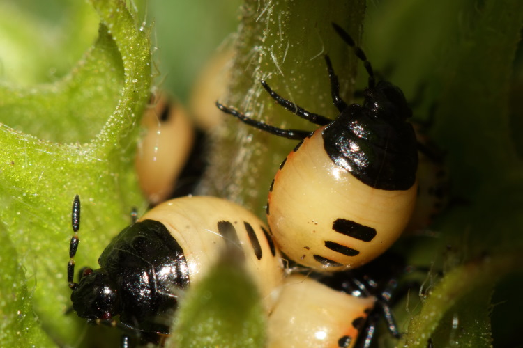 Pied Shieldbug, Cydnidae