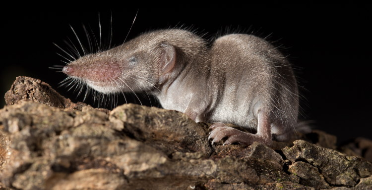 smallest mammal shrew