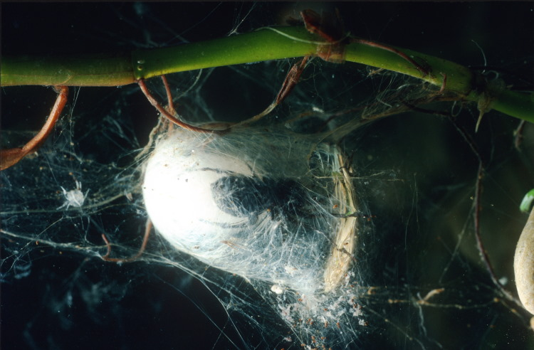 water spider silk web
