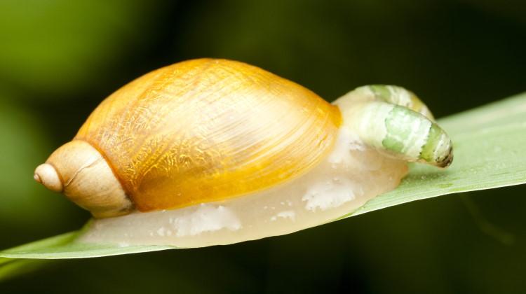 digenea snail
