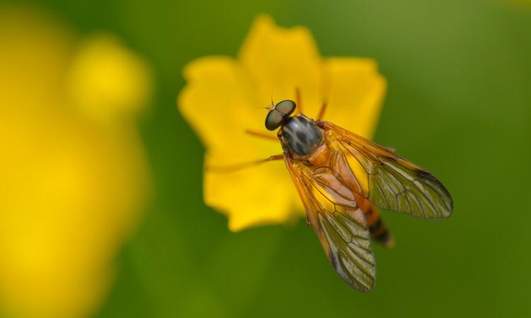 Rhagionidae snipe fly