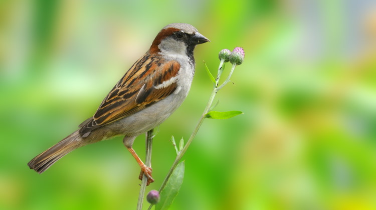 most common bird sparrow facts