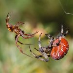 "Spider Courtship 101: Flirting and ""Boy Meets Girl"" For Arachnids"