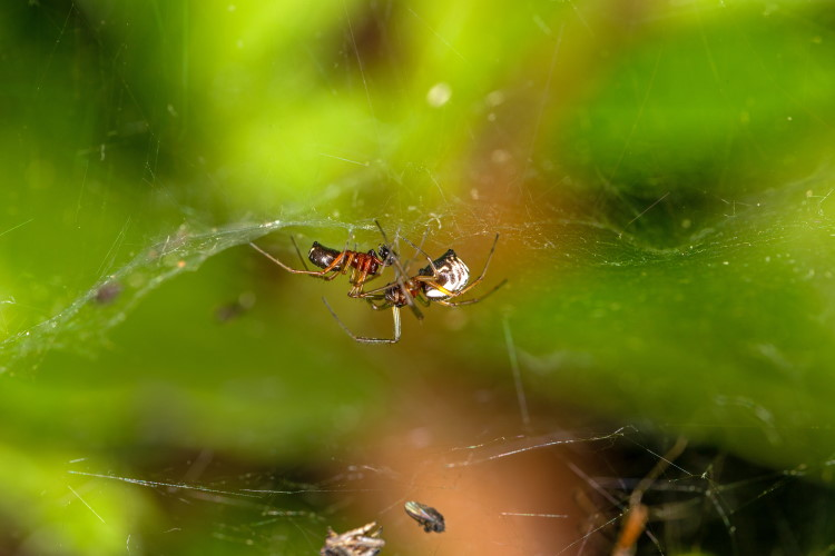 Linyphiidae Frontinellina frutetorum