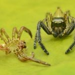 Spider Ecology: Taking A Look At Molting, Mimicry & More