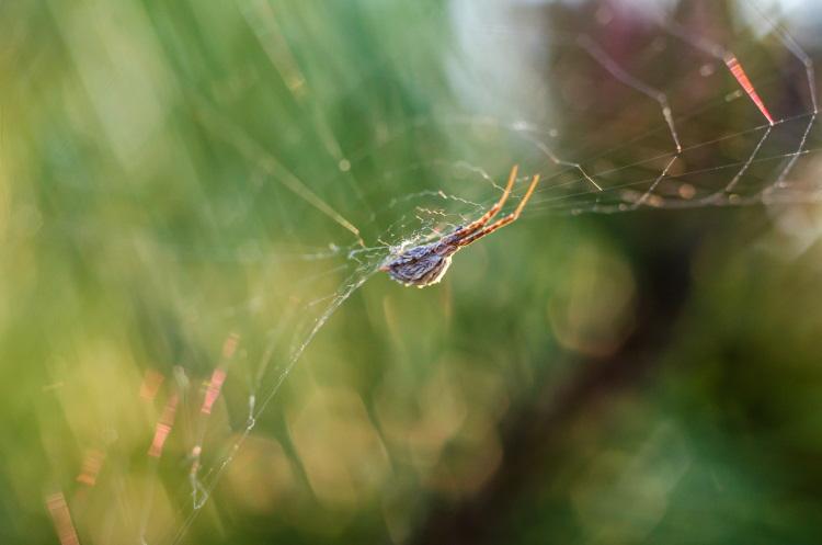 Uloborus diversus spider web
