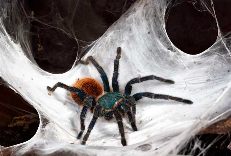 Greenbottle Blue Tarantula Web