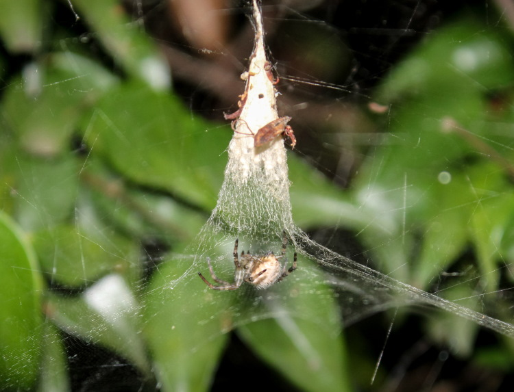 Pan Spider Web