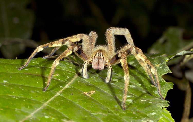 most venomous spider Phoneutria fera