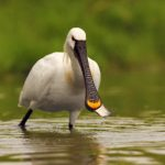 Ciconiiformes: Order Of The Ibis, Spoonbill & Stork