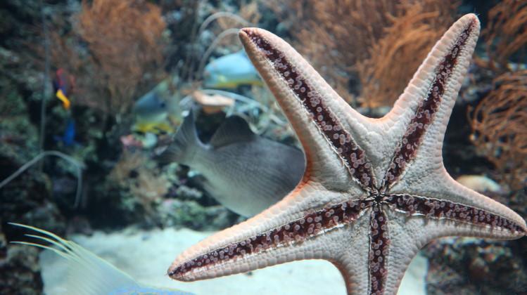 Echinoderm starfish