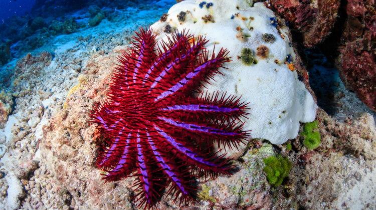 crown starfish