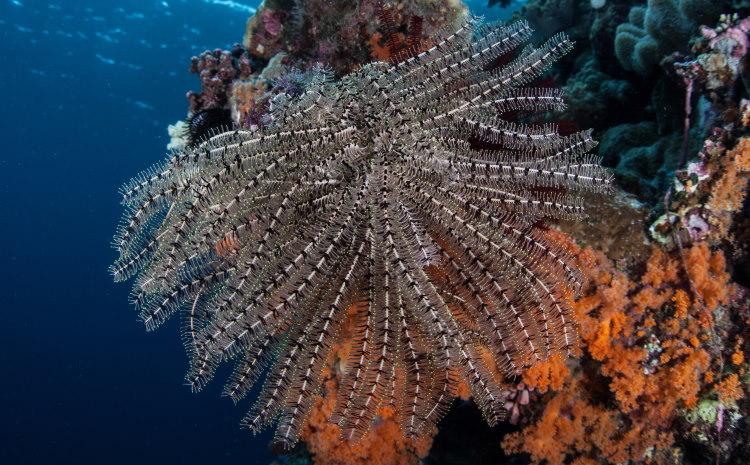 Crinoidea star fish