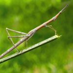 Stick Bugs 101: The Amazing World Of Order Phasmida