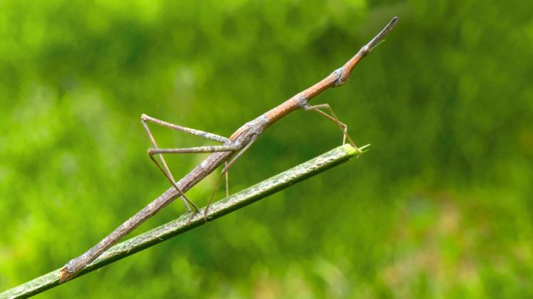 stick bug camouflage