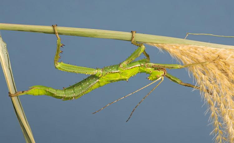 Phasmida Heteropteryx dilatata