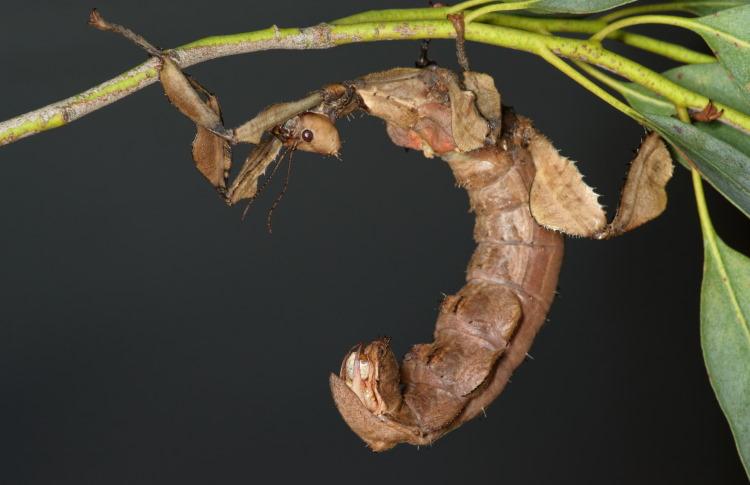 Phasmatidae Extatosoma tiaratum