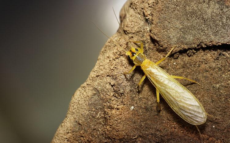 stonefly on rock