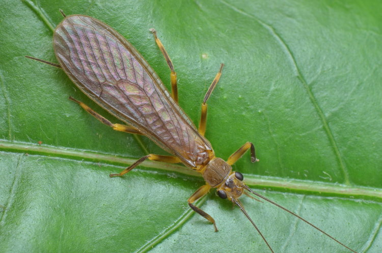 adult stone fly