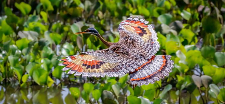 sunbittern wing