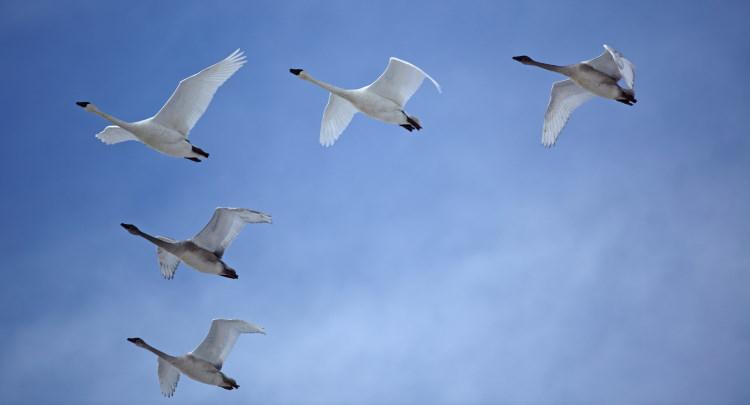 swan v formation