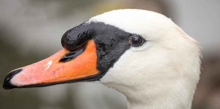 mute swan family anatidae