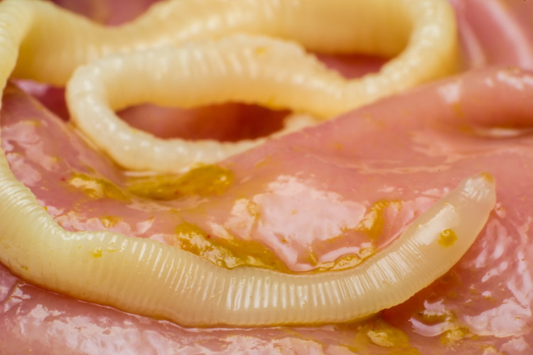 tapeworm in cat stomach