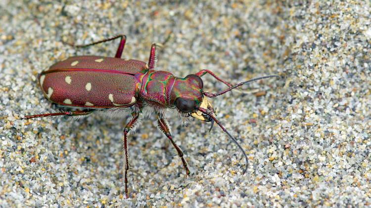 Tiger beetle (Calomera littoralis)
