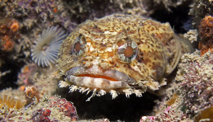 can oyster toad fish hear illustrated