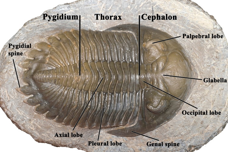 trilobite anatomy diagram