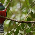 Trogoniformes: The Wonderful World Of Trogons