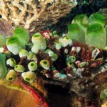 "Tunicates: Miraculous Sea Squirts Named After Their ""Tunics"""
