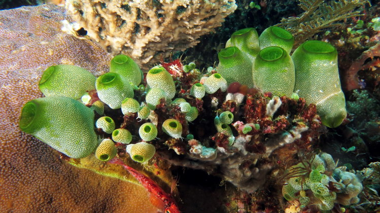 tunicate colony green