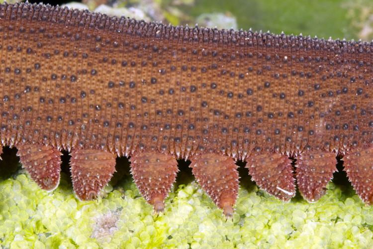 close up peripatus