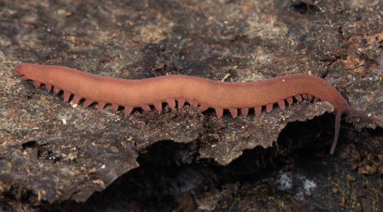 velvet worm Epiperipatus barbadensis