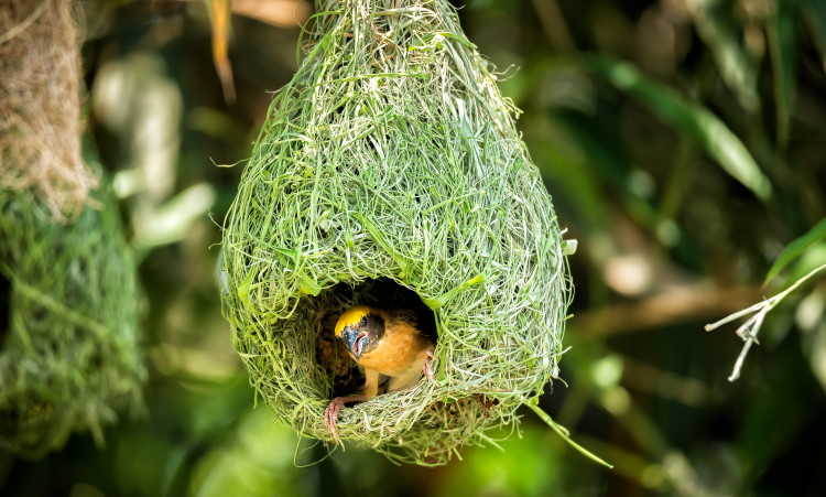 weaver bird hanging nest