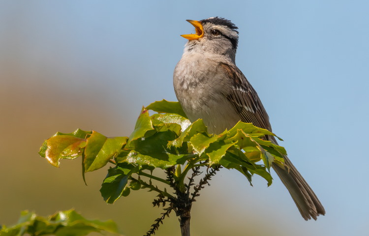 innate bird songs of sparrow